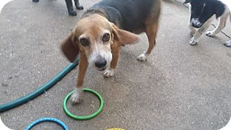 Beagle Mix Dog for adoption in Stephenville, Texas - Shiloh
