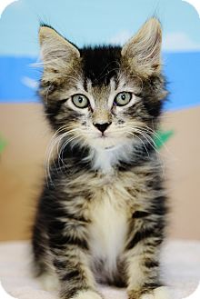 Domestic Mediumhair Kitten for adoption in Bradenton, Florida - Sleepy
