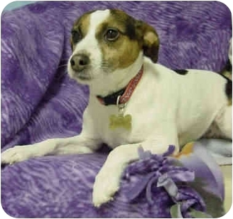 Jack Russell Terrier Dog for adoption in Westfield, New York - Phoebe