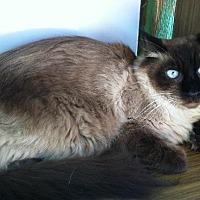 Domestic Longhair Cat for adoption in Sherman Oaks, California - Chance