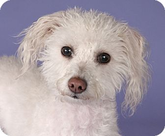 Poodle (Miniature)/Bichon Frise Mix Dog for adoption in Chicago, Illinois - Princess Poodle