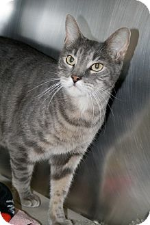 Domestic Shorthair Cat for adoption in Jackson, New Jersey - Big Kitty