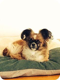Pekingese/Pomeranian Mix Dog for adoption in Lodi, California - Holly
