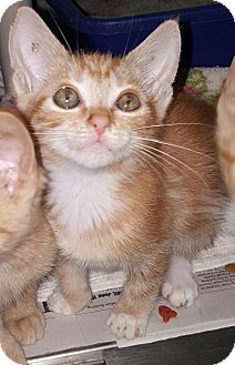 Domestic Shorthair Kitten for adoption in Prince George, Virginia - Stevie