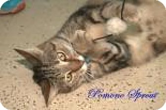 Bengal Cat for adoption in Middleburg, Florida - Pomona Sprout