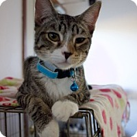 Adopt A Pet :: Mitts - Orland, CA