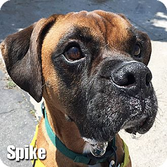 Encino Ca Boxer Meet Spike A Dog For Adoption