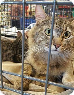 Ragdoll Cat for adoption in Arcadia, California - Mom Cat
