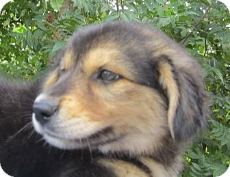 Siberian Husky Mix Puppy for adoption in Waldron, Arkansas - HEATHER