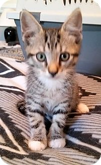 Domestic Shorthair Kitten for adoption in Concord, North Carolina - Greyson