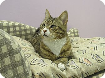 Domestic Shorthair Cat for adoption in Westbury, New York - Toby