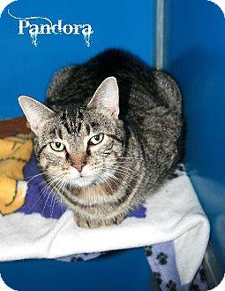 Domestic Shorthair Cat for adoption in Kankakee, Illinois - Pandora
