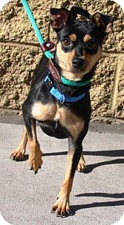 Miniature Pinscher Mix Dog for adoption in Gilbert, Arizona - Skyler