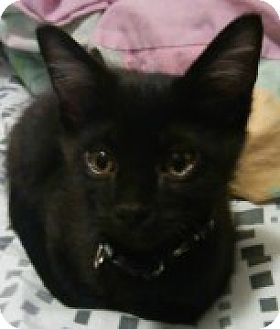 Domestic Shorthair Kitten for adoption in McHenry, Illinois - Luke