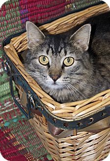 Maine Coon Cat for adoption in Bishopville, South Carolina - Grizabella