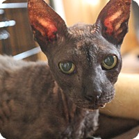 Cornish Rex Cat for adoption in Tucson, Arizona - Bo