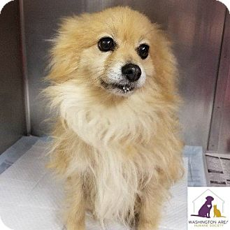 Pomeranian/Chihuahua Mix Dog for adoption in Eighty Four, Pennsylvania - Missy