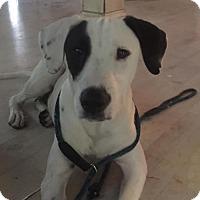 Adopt A Pet :: Dasha - Vacaville, CA