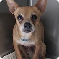 Adopt A Pet :: Little Guy - Jupiter, FL