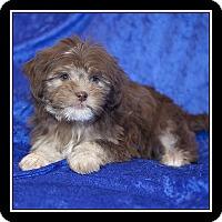 Adopt A Pet :: Brownie - San Diego, CA