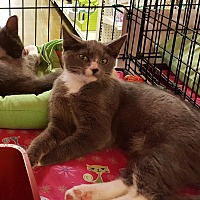 Adopt A Pet :: Felix - Irwin, PA