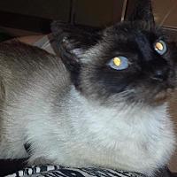 Adopt A Pet :: Ambrosia - St. Louis, MO