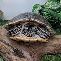 Adopt A Pet :: Bordeau - Pefferlaw, ON