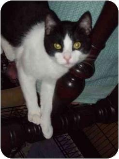 Domestic Shorthair Cat for adoption in Fort Lauderdale, Florida - Duke