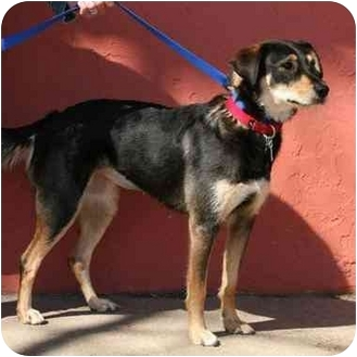 German Shepherd Dog/Airedale Terrier Mix Dog for adoption in Denver, Colorado - Macy