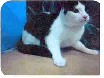 Domestic Shorthair Cat for adoption in New York, New York - Patti