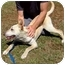 Photo 3 - Labrador Retriever/German Shepherd Dog Mix Dog for adoption in Berkeley, California - Buddy