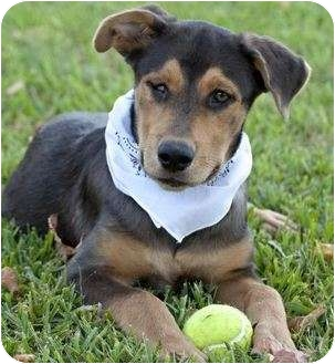 Catahoula Leopard Dog/Doberman Pinscher Mix Puppy for adoption in Portsmouth, Rhode Island - Pixie- give me a chance!