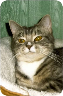 Domestic Shorthair Cat for adoption in Medway, Massachusetts - Candy