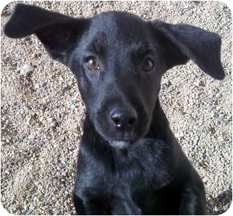 Labrador Retriever Mix Puppy for adoption in Chino Valley, Arizona - Raelynn