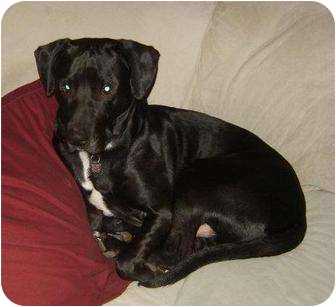 Labrador Retriever/Retriever (Unknown Type) Mix Dog for adoption in Berea, Ohio - Luke