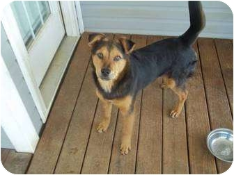 Feist/Australian Cattle Dog Mix Dog for adoption in Lebanon, Maine - Diesel