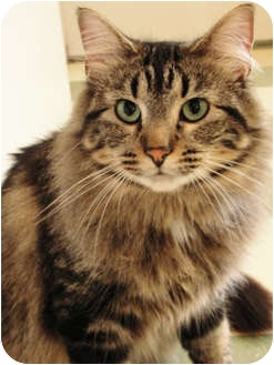 Maine Coon Cat for adoption in Chicago, Illinois - Tinker