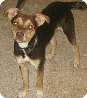Beagle/Basenji Mix Dog for adoption in Berea, Ohio - Yoda