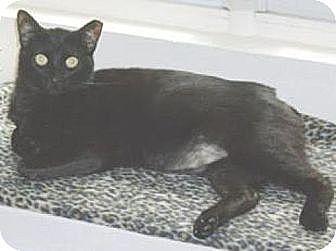 Domestic Shorthair Cat for adoption in Miami, Florida - Cutie