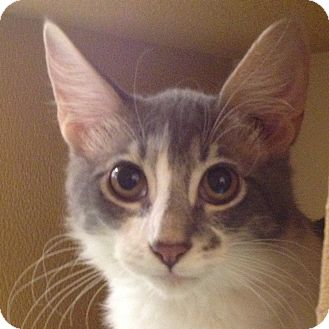Domestic Shorthair Kitten for adoption in Weatherford, Texas - Missy