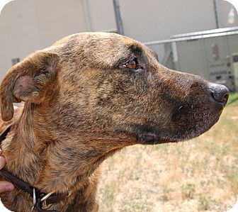 Black Mouth Cur Dog Brindle