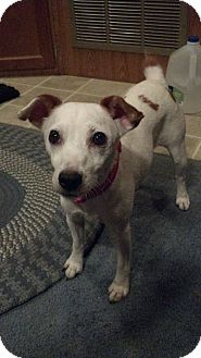Jack Russell Terrier Dog for adoption in Houston, Texas - Sookie in Houston