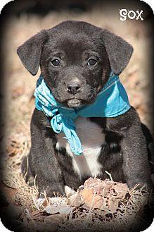 Labrador Retriever/Boxer Mix Puppy for adoption in Glastonbury, Connecticut - SOX