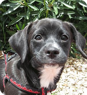 Terrier (Unknown Type, Small)/Chihuahua Mix Puppy for adoption in Las Vegas, Nevada - Lenny