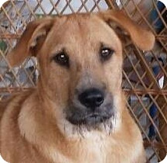 Airedale Terrier/Labrador Retriever Mix Dog for adoption in Wappingers, New York - Russell