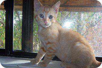 Domestic Shorthair Kitten for adoption in Pueblo West, Colorado - Franky
