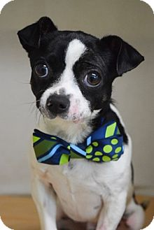 Terrier (Unknown Type, Small)/Chihuahua Mix Dog for adoption in Dublin, California - Buddy