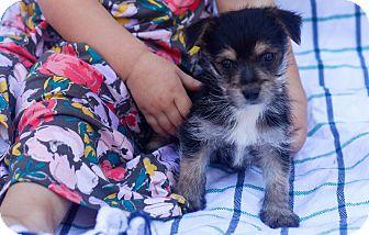 Yorkie, Yorkshire Terrier/Maltese Mix Puppy for adoption in Auburn, California - Coda