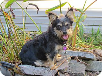 Yorkie, Yorkshire Terrier/Schnauzer (Miniature) Mix Dog for adoption in Newburgh, New York - RAINDROP