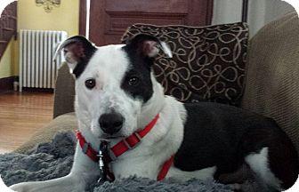 Labrador Retriever Mix Dog for adoption in Boston, Massachusetts - Bessie